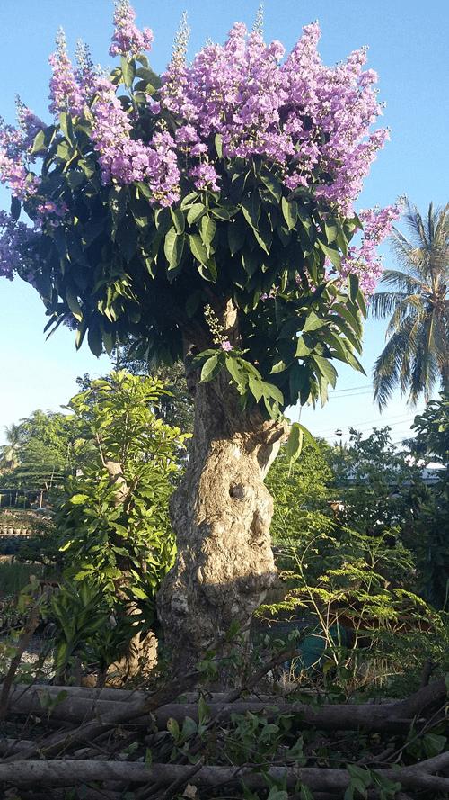 Cây gỗ thao lao