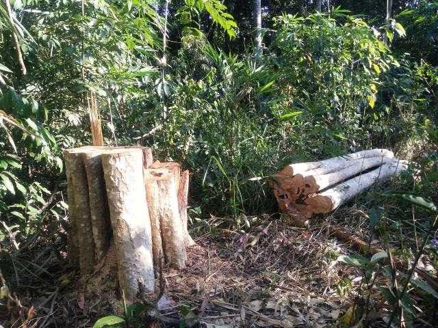 Các gỗ cây bằng lăng bị chặt phá