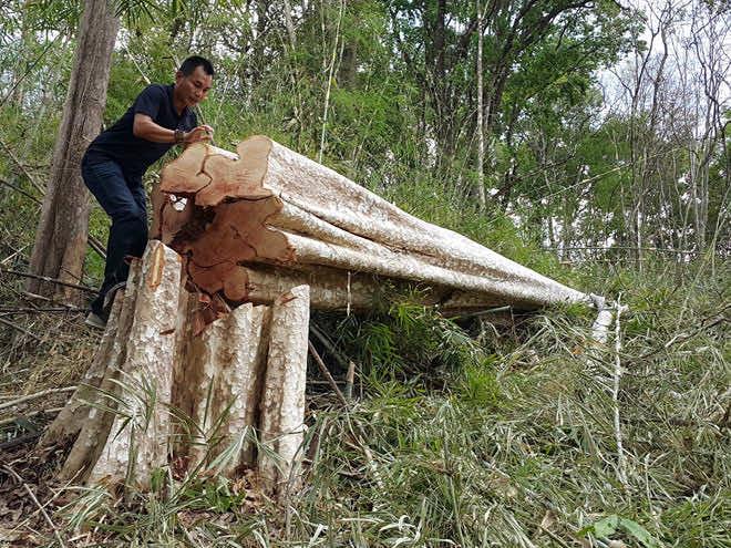 Các gỗ cây bị chặt phá