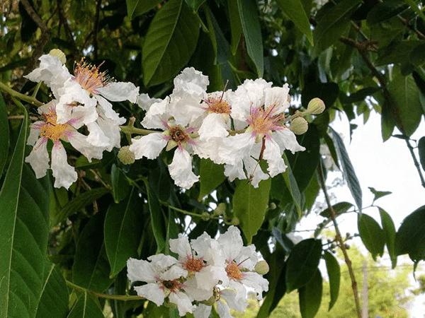 Gỗ Thao Lao